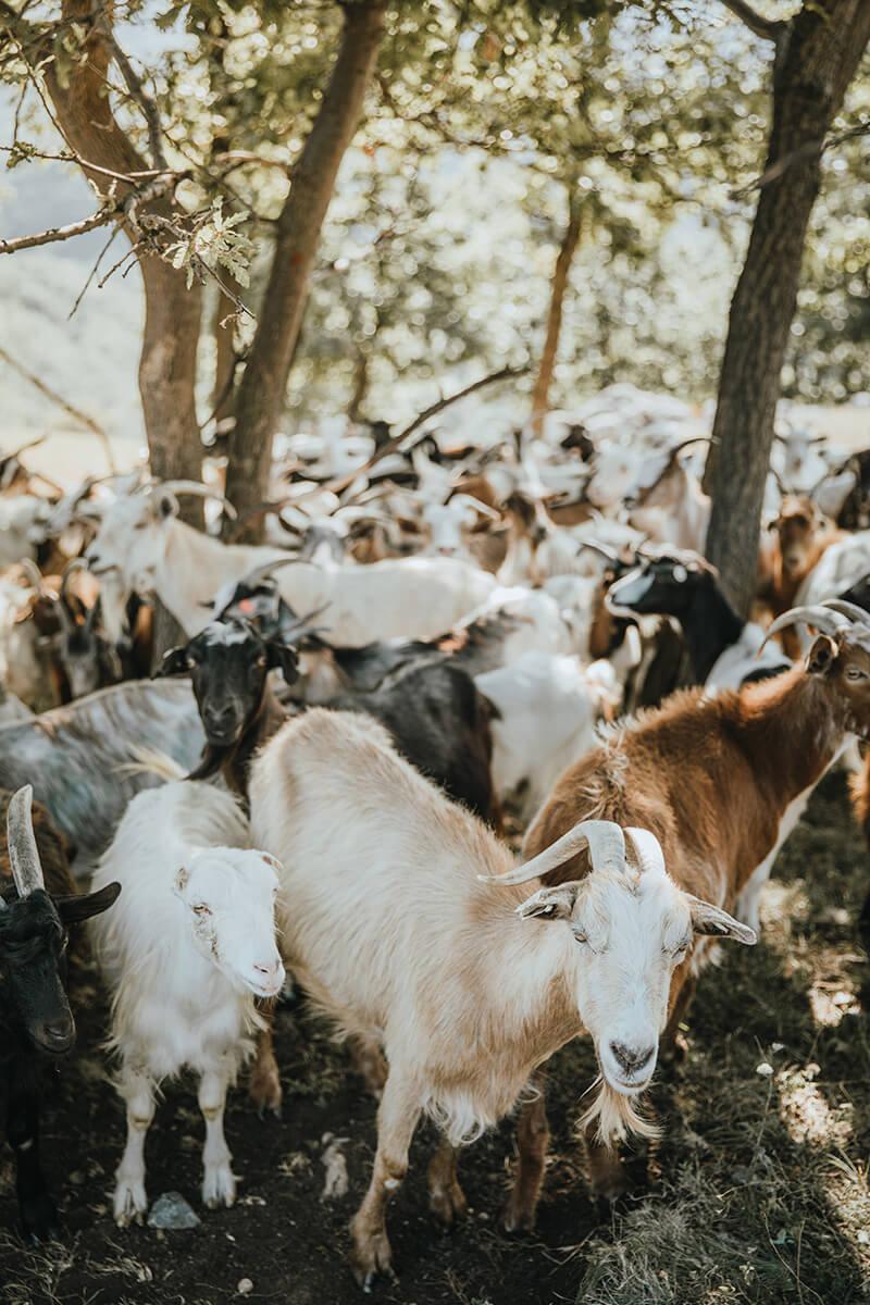 Mountain's Goat Ziegen Herde