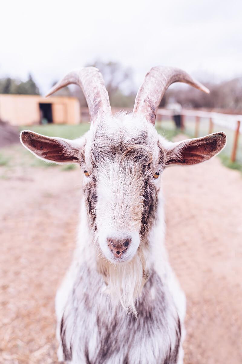 Mountain's Goat liebt Ziegen